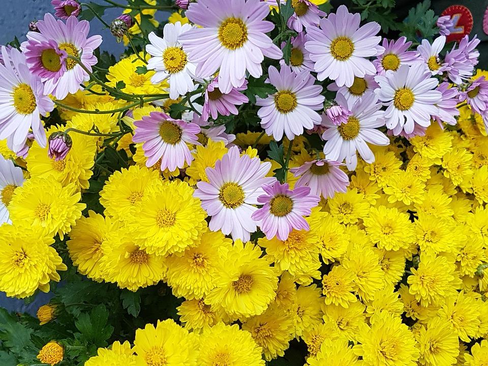 Kogiku yellow fall flowers free photo on pixabay kogiku yellow fall flowers flowers chrysanthemum mightylinksfo