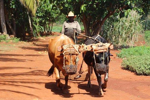 Mit dem Mietwagen durch Kuba - Ochsengespann