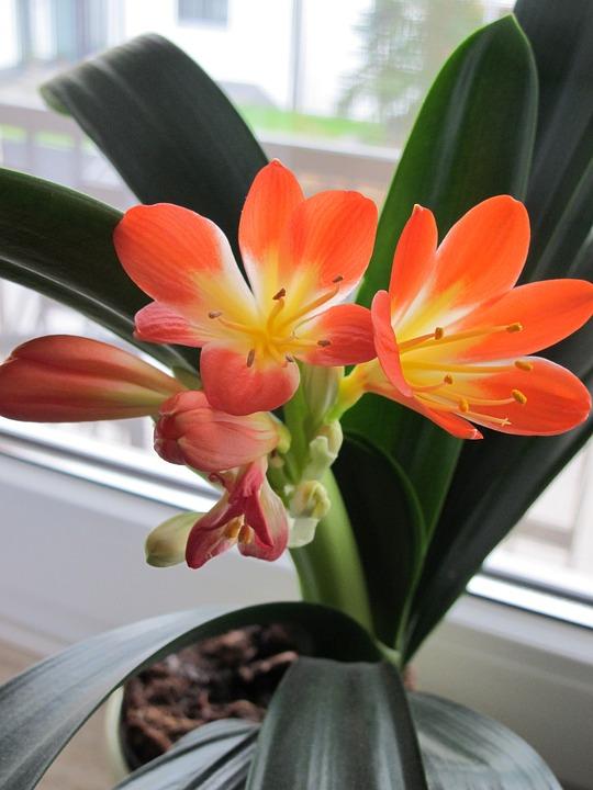 Clivia Zimmerpflanze Winterbluher Kostenloses Foto Auf Pixabay