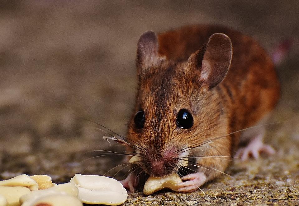 マウス, 齧歯動物, かわいい, 哺乳類, Nager, 自然, 動物, 木マウス