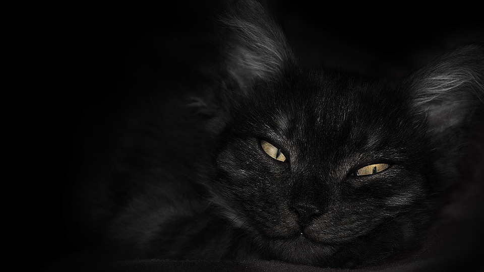 kitty wallpaper animal pet black eyes