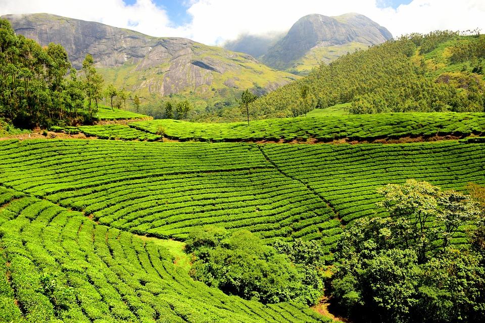 Photo gratuite plantation de th jardin de th image for Plantations jardin