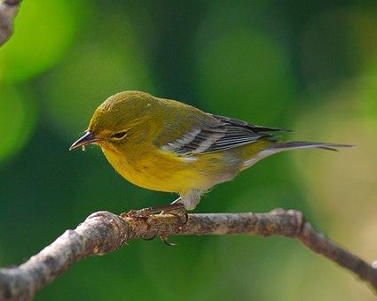松ウグイス, 鳥, 野生動物, 自然, 黄色, アウトドア, 止まった, 鳴き鳥