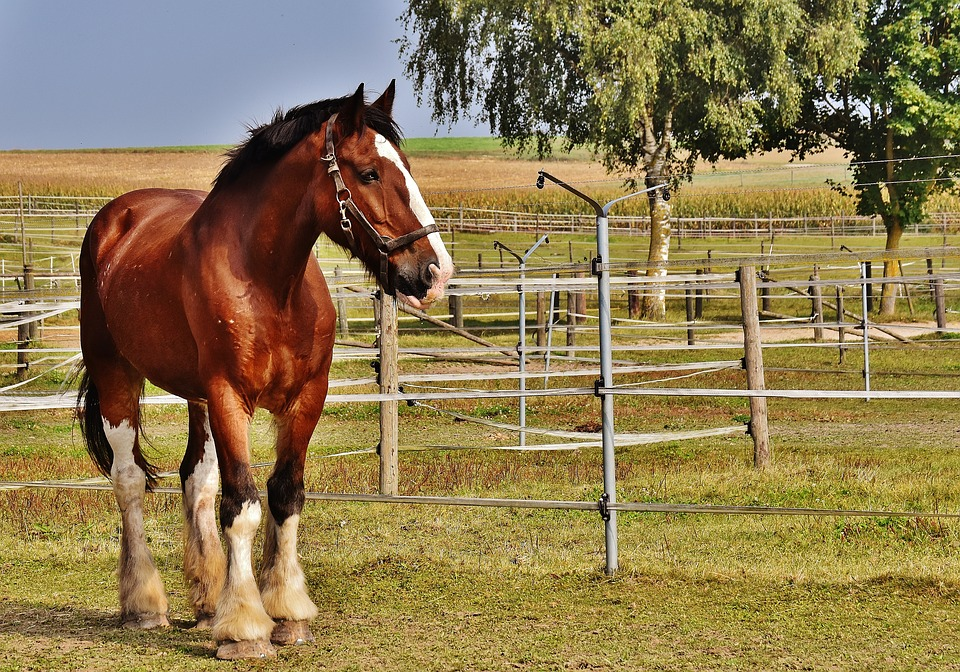 Shire Horse, Horse, Big Horse, Ride, Reitstall