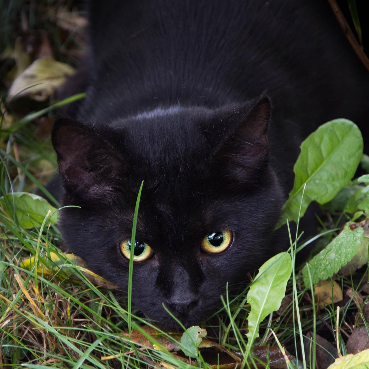 статье черные кошки животные фото это цирковые эстрадные