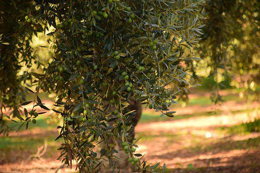 Olives, Olive Tree, Nature, Plant, Tree