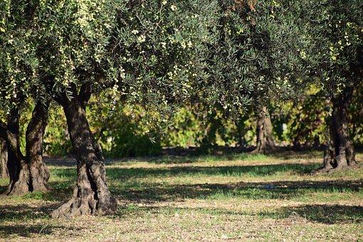Olives, Olivier, Nature, Plantes, Arbre