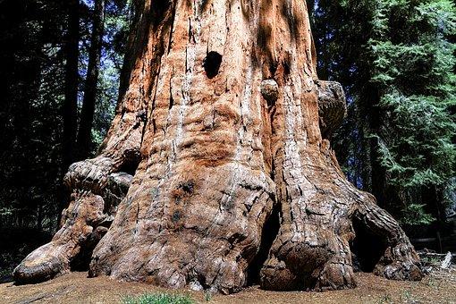 Sequioa Tree, Sequioa National Park