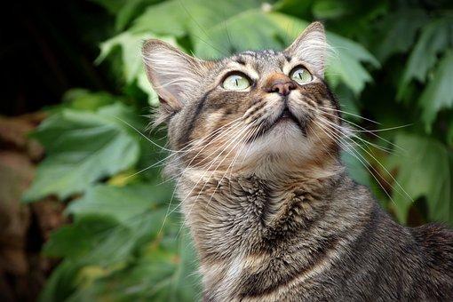 Cat, Aussehen, Augen, Haustier