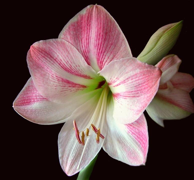 Amaryllis Flower Pink Free Photo On Pixabay