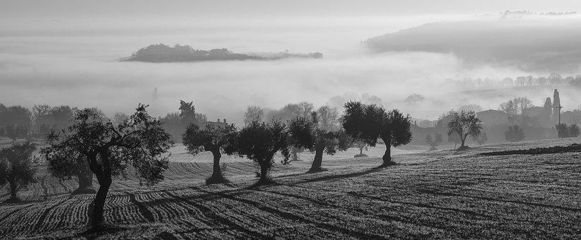 Olive Harvest, Fog, Olive Trees, Field