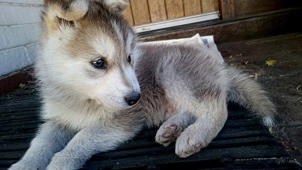 Husky, Puppy, Cute, Animal, Dog, Pet