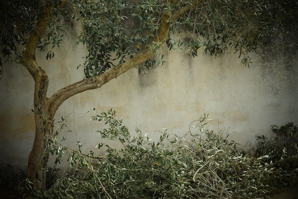 Olive Tree Nostalgia Background 183 Free Photo On Pixabay