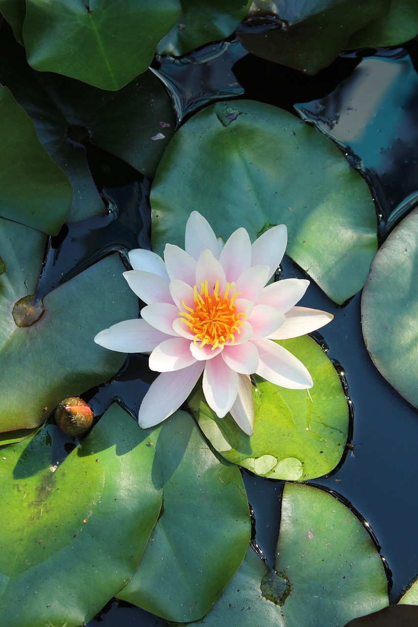 Цветок лилии водяной фото и описание