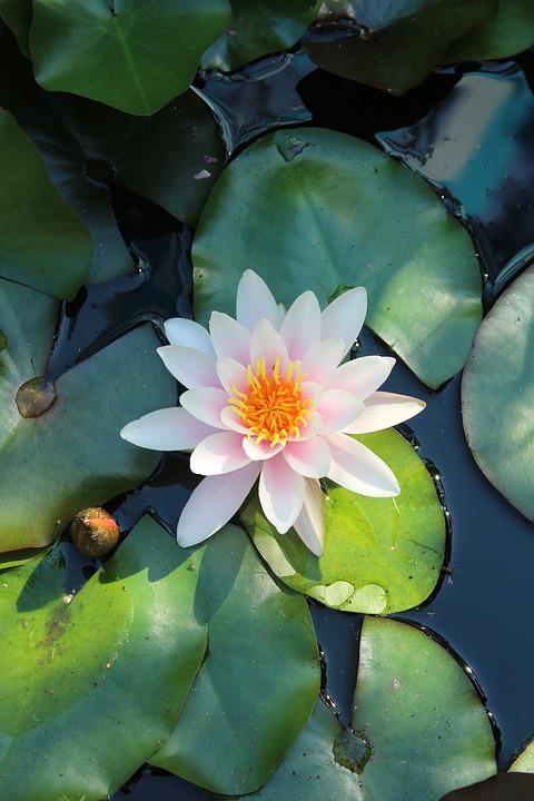 free photo water lily, flowers, aquatic plants  free image on, Natural flower