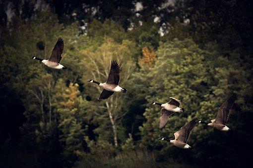Autumn, Geese, Migratory Birds