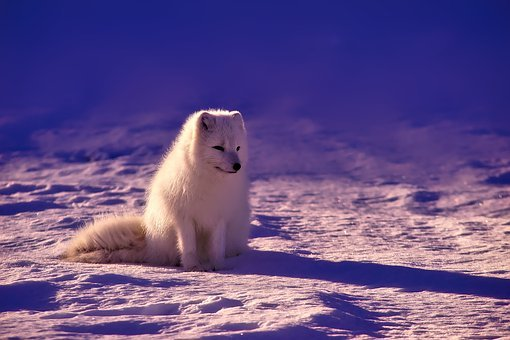 beautiful white fox on snow covered ground under blue sky during daytime