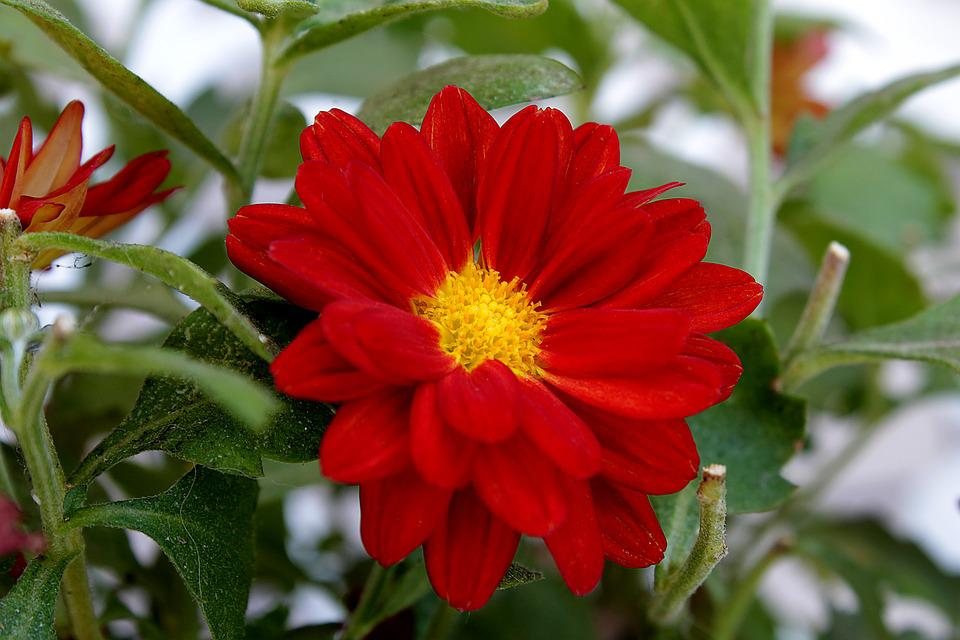 free photo red daisy, flower, garden, nature  free image on, Natural flower