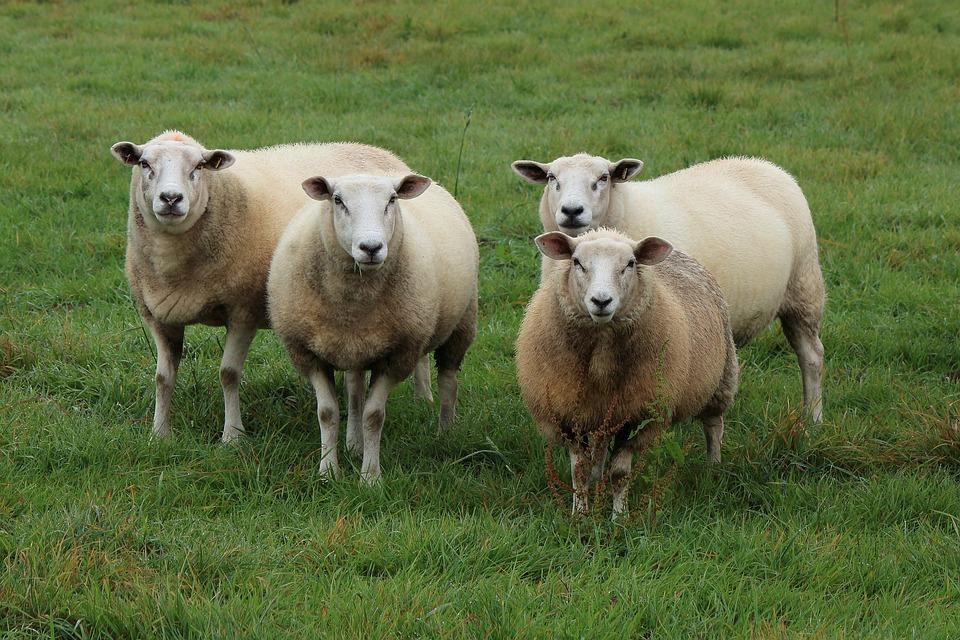 Foto gratis pecore gregge di pecore gregge immagine - Photos de moutons gratuites ...