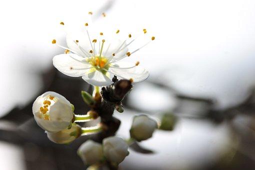 Flor Blackthorn, Primavera, Planta
