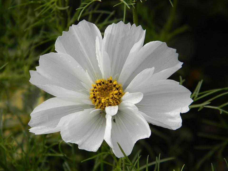 Cosmos flower white free photo on pixabay cosmos flower white blooming garden nature plant mightylinksfo