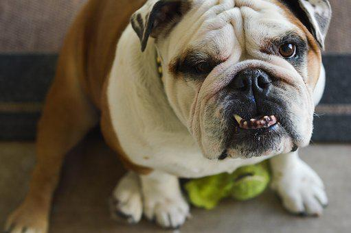 Bulldog, Underbite, Dog, Canine, Animal