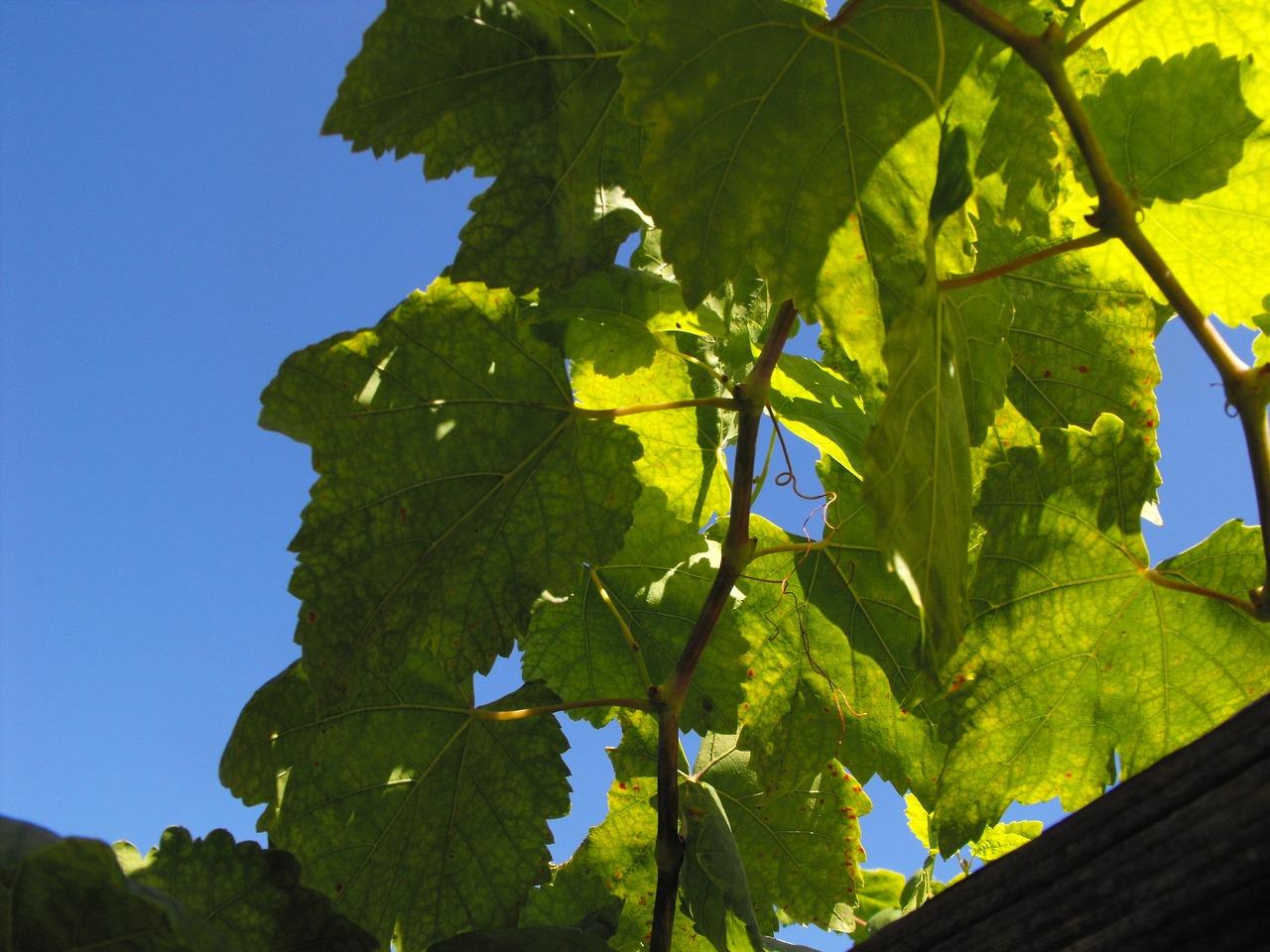 Newpixru - вкусный и полезный виноград