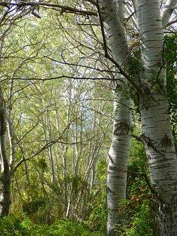 White Poplar, Riparian Forest, Alameda