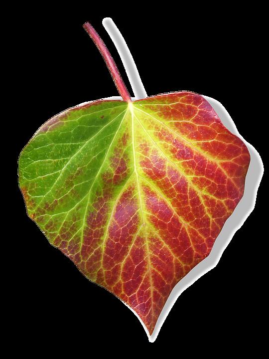 free photo leaf ivy transparent background free image