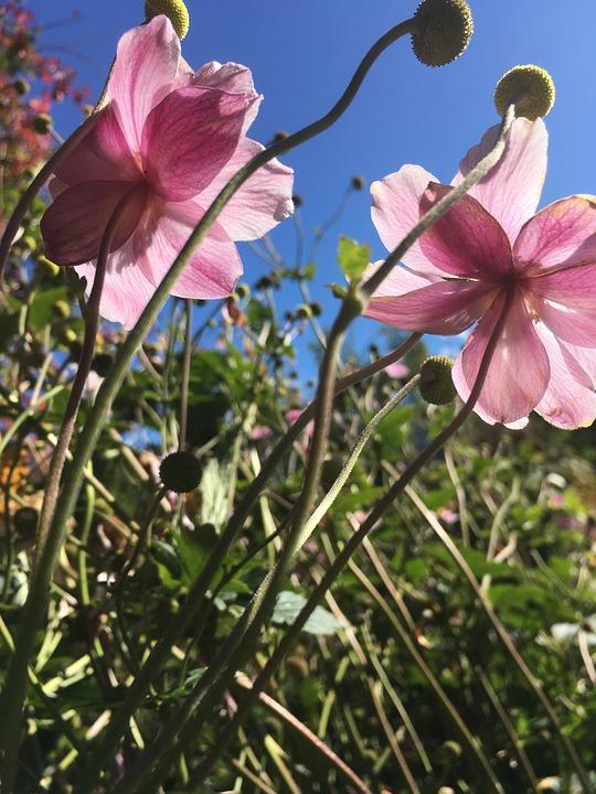 Herbstblumen Garten Malven Kostenloses Foto Auf Pixabay