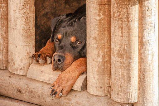 Rottweiler, Hond, Slaap, Hond Huis