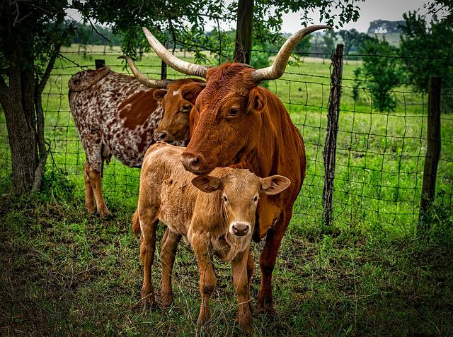 Longhorn Cattle Mother 183 Free Photo On Pixabay
