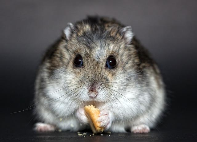 Free photo: Hamster, Dwarf Hamster, Dschungare - Free ...  Free photo: Ham...
