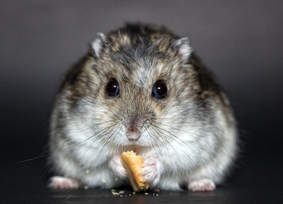Hamster, Rodent, Dwarf Hamster, Nager, Dschungare