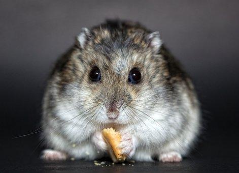 Hamster, Rodent, Dwarf Hamster, Nager