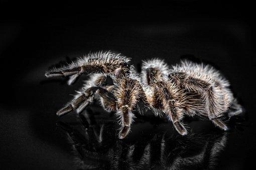 Tarantula, Arachnophobisch, Spider