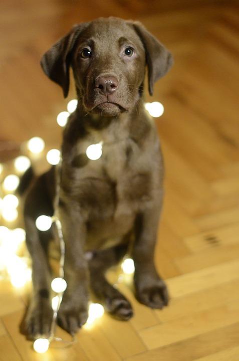 Dog, Labrador, Christmas, Lights, Cute, Retriever