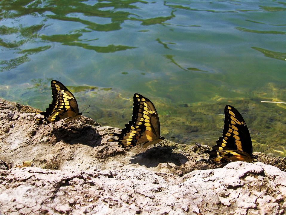 Butterflies, Water, Pond, Thirsty, Nature