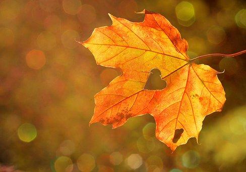 Herz, Herzblatt, Blatt, Herbst, Ahorn