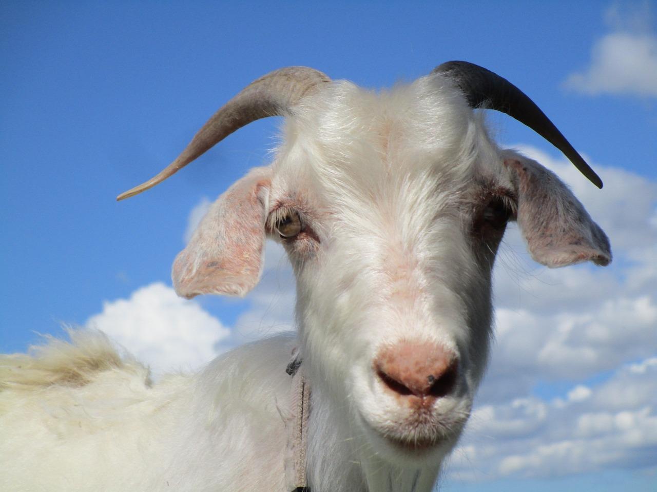картинки козы картинки козы говорят