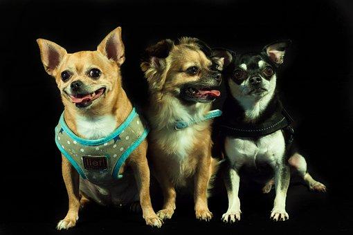 Dogs, Calhoun, Three, Small Dog Breeds