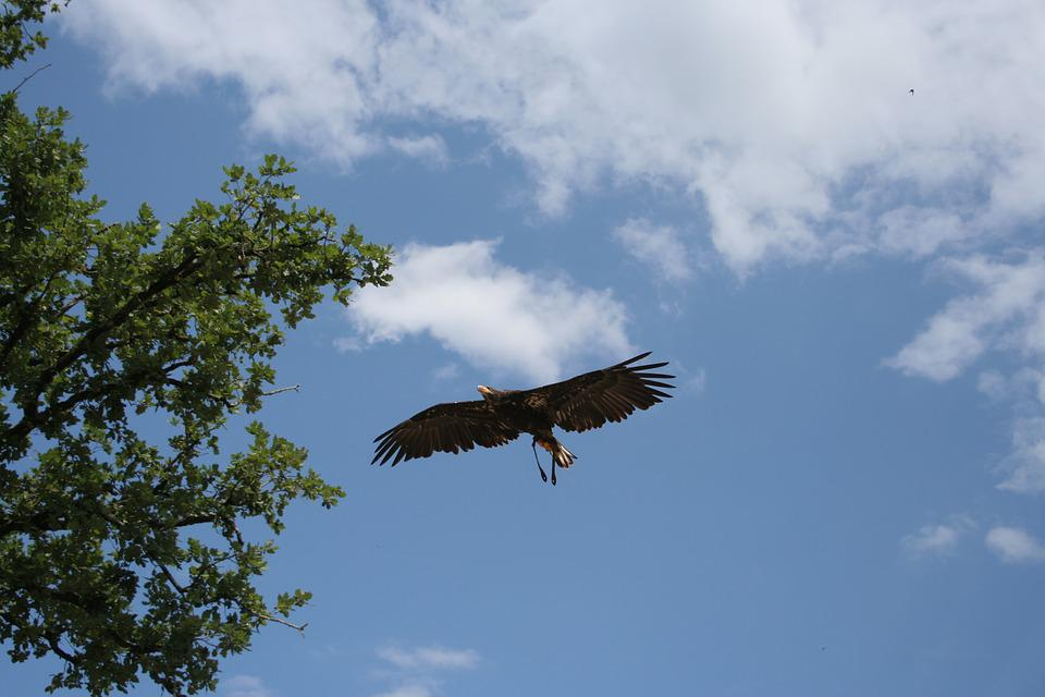 480 Gambar Burung Elang Di Udara HD Terbaik