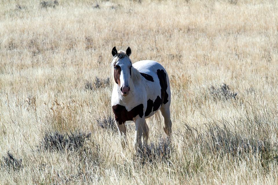 ✦ Wakiza ✦ Étalon ✦ Mustang Horses-1777784_960_720