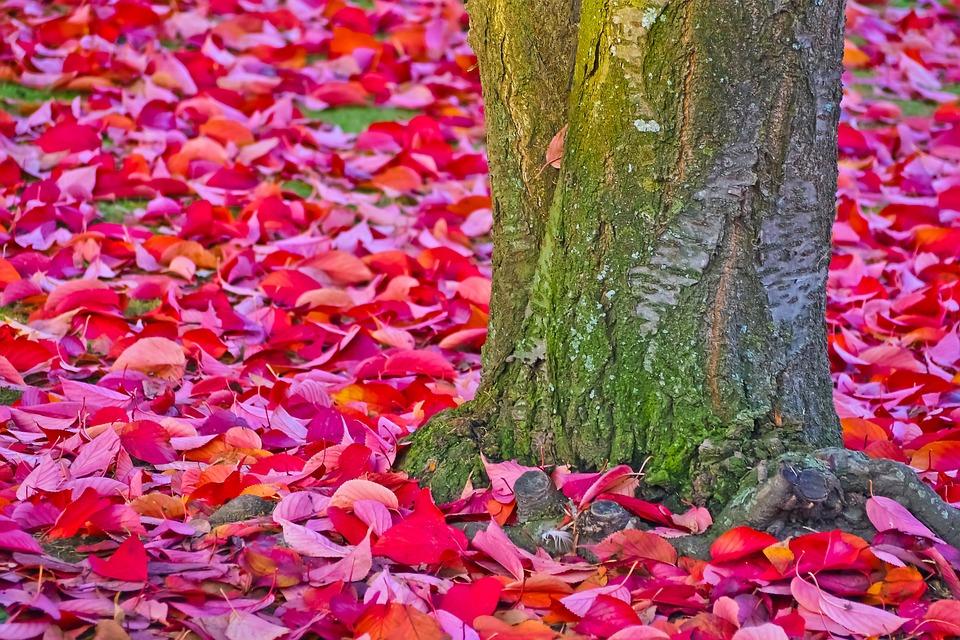 Photo gratuite l 39 automne rouge feuilles arbre image gratuite sur pixabay 1778711 - Arbre feuille rouge fruit rouge ...