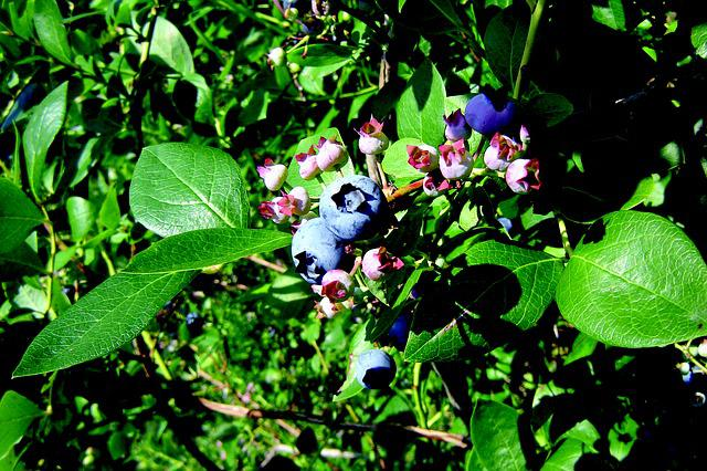 Image result for Bilberry