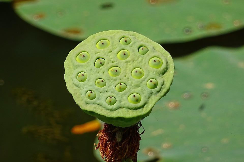 Seed Pod Lotus Flower Head Free Photo On Pixabay