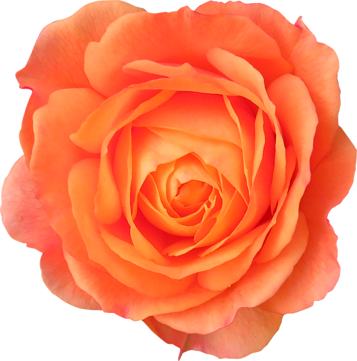 Flower orange rose free photo on pixabay flower orange rose orange flower flowers isolated mightylinksfo