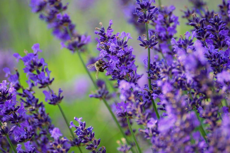 Lavender, Nature, Plant, Purple Flower, Meadow, Plants