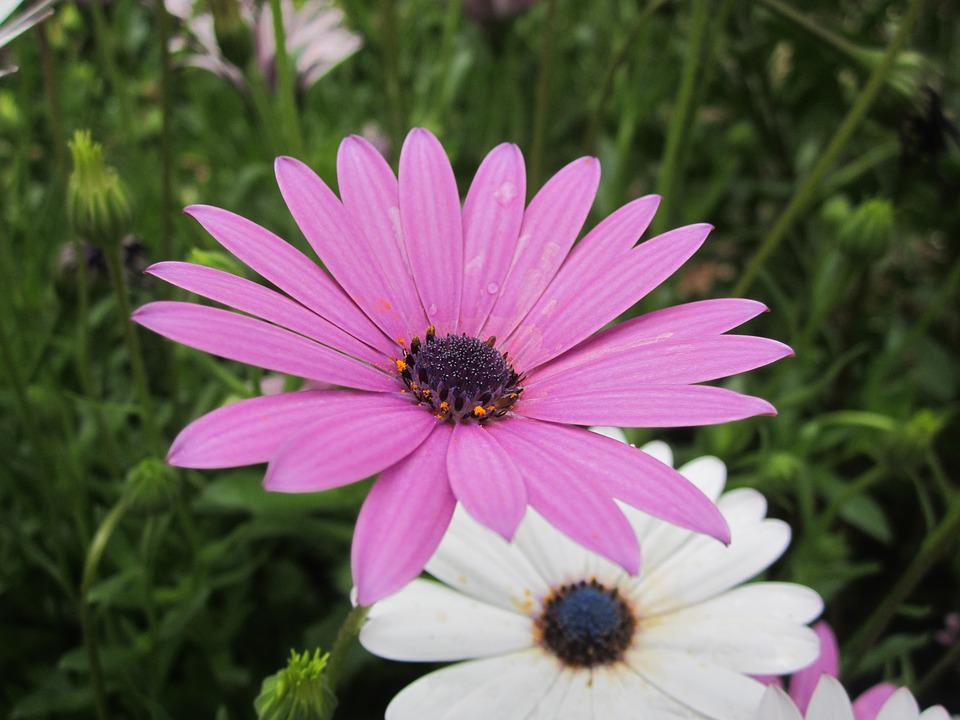 free photo daisy, purple flowers  free image on pixabay, Beautiful flower