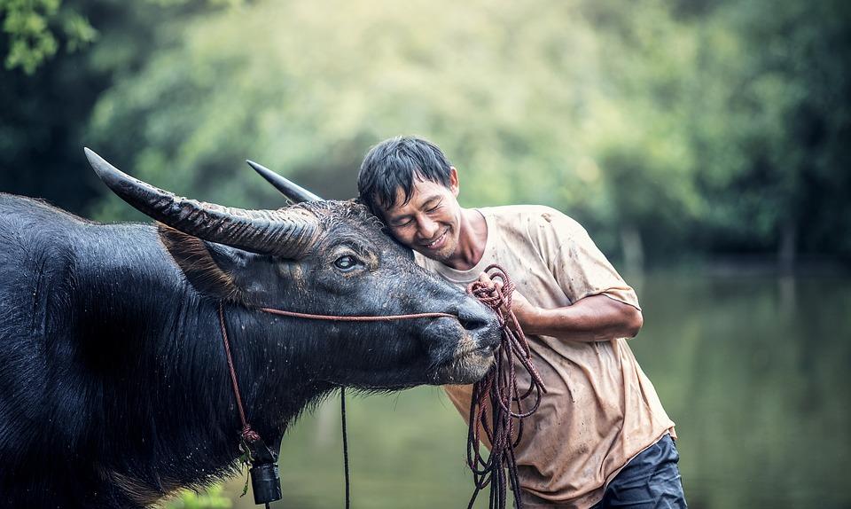 Animali, Asia, Buffalo, Cambogia, Mucca